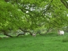 sheep Henley Park