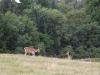falow deer