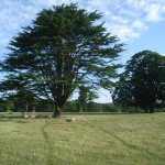 specimen cedar