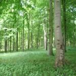 beechwoods