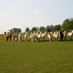 blenheim - chiltern weanlings
