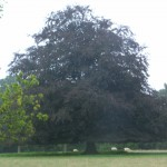 copper beech parkland