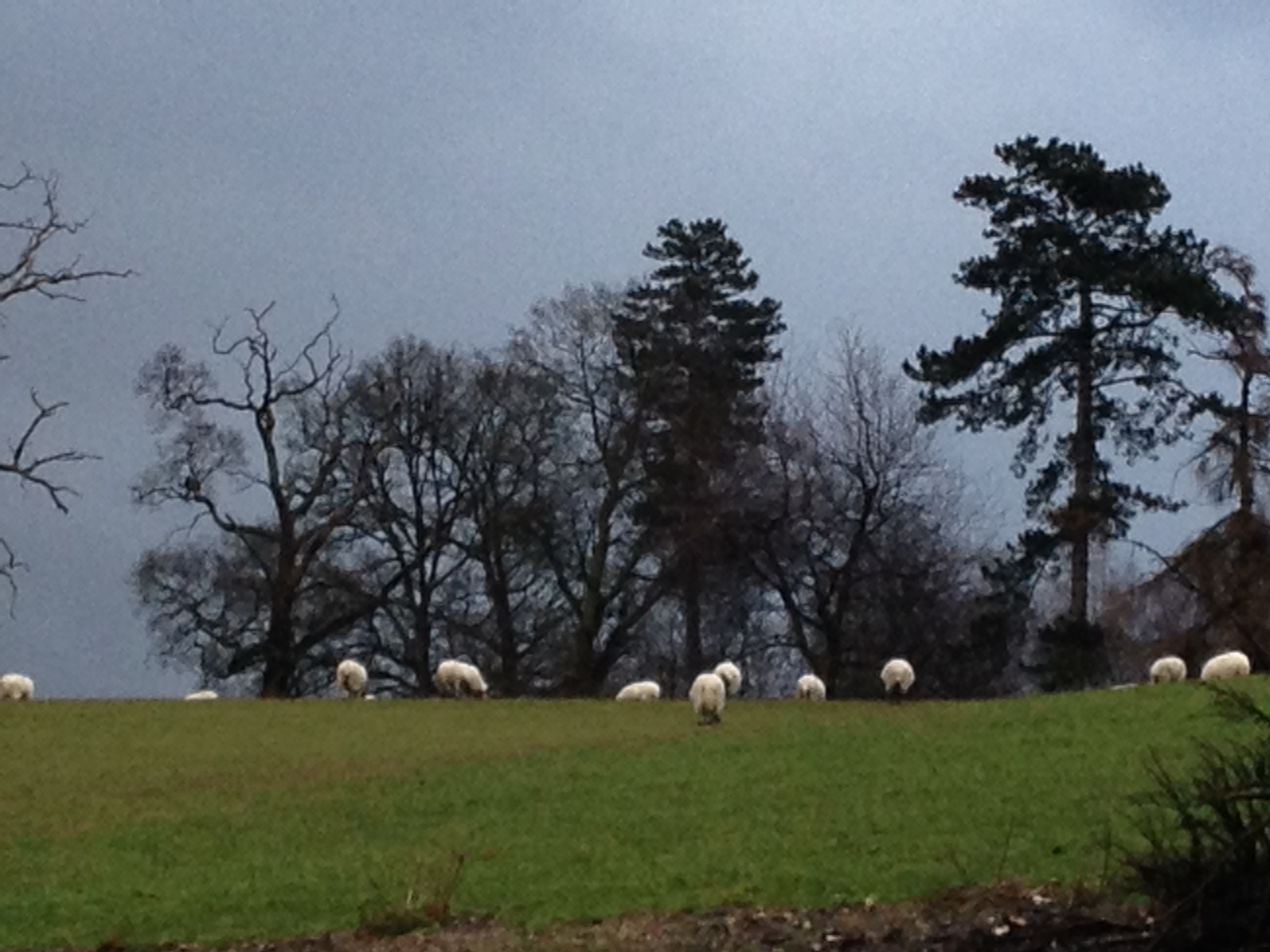 sheep Henley park in February