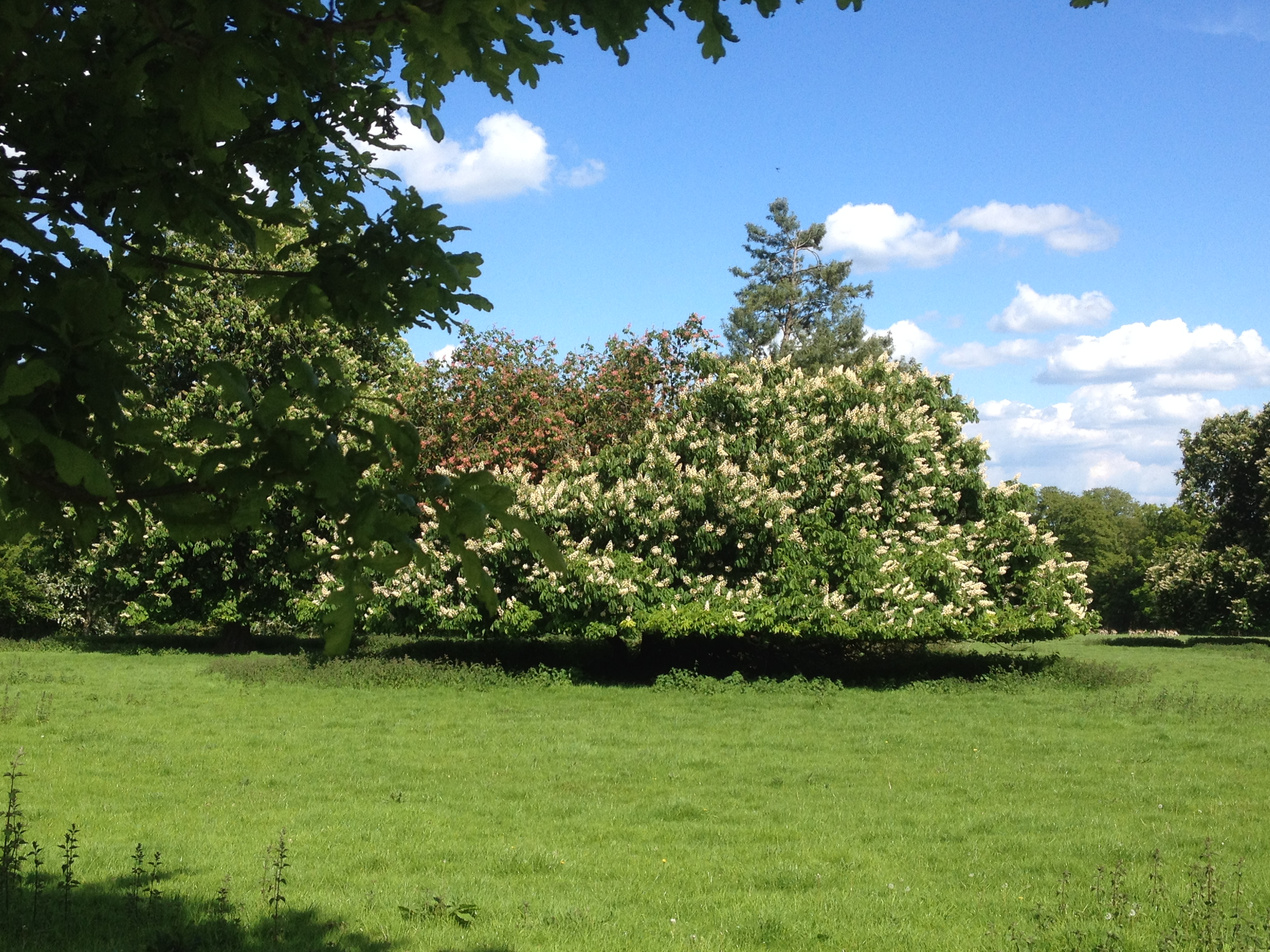 2 Horse chestnuts IMG_0875